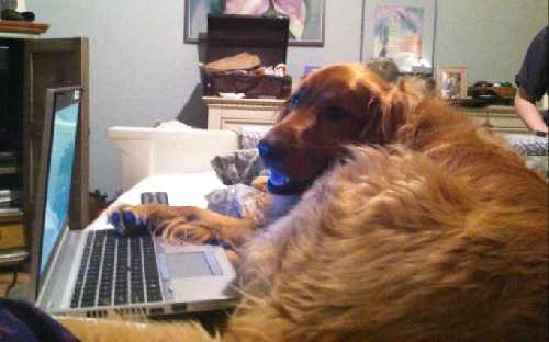 Golden Retriever Dog is working at the computer