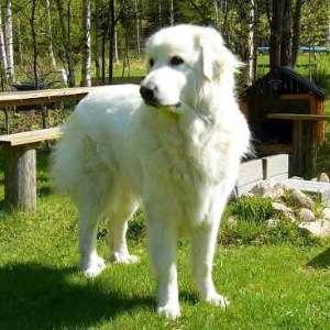 Great Pyrenes (also called Pyr, Pyrenean Mountain Dog, PMD, Chien de Montagne des Pyrenees)