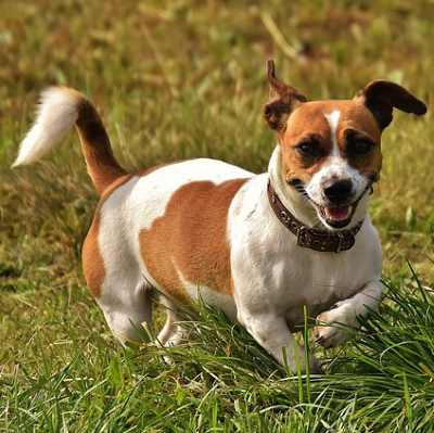 Choose a Jack Russell Terrier when running with your dog.