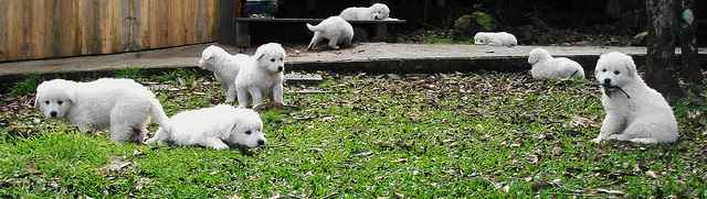 Kuvasz Puppies Playing in the Yard