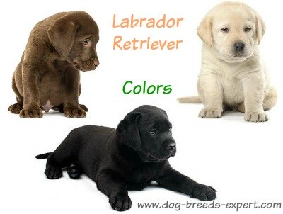 Colors of the Labrador Retriever:  Chocolate, Black and Yellow