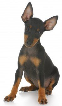 English Toy Terrier  (Black and Tan Terrier or Manchester Terrier)