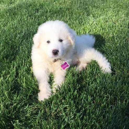 Great Pyrenees Puppy in the Grass.
