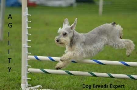 Miniature Schnauzer Performing in an Agility Event