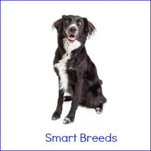 Smart Dog Breeds