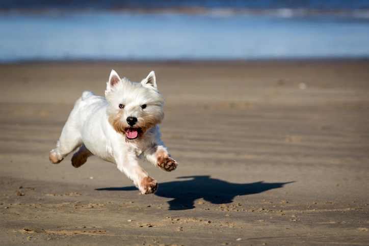 The West Highland White Terrier Has Plenty of Energy