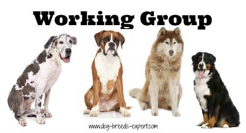 Group of 4 dogs that belong to the Working Dog Breeds Group