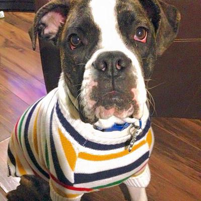 Zeus in his sweater age 6 months